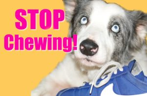stop dog chewing